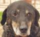 <font color = blue>MASA (mâle croisé Beauceron/Labrador d'environ 14 ANS) - Serbie -en pension</font>
