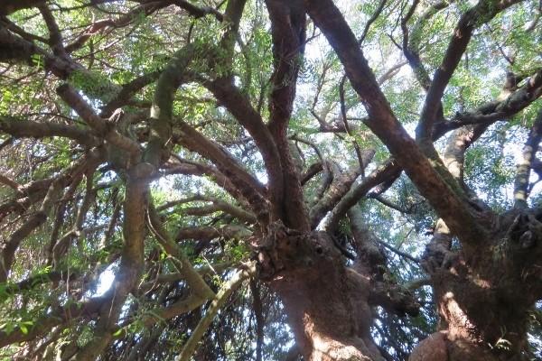 arbuste à odeur résineuse