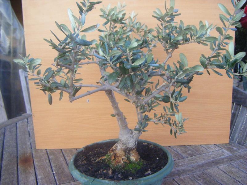 Essayons de faire un magnifique bonza olivier ensemble - Comment faire un bonsai ...