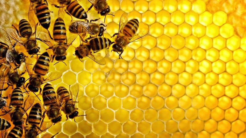نحل عسل