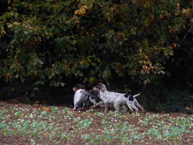 Setter Anglais, chien polyvalent