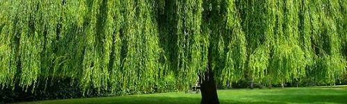Lady Willow Tree