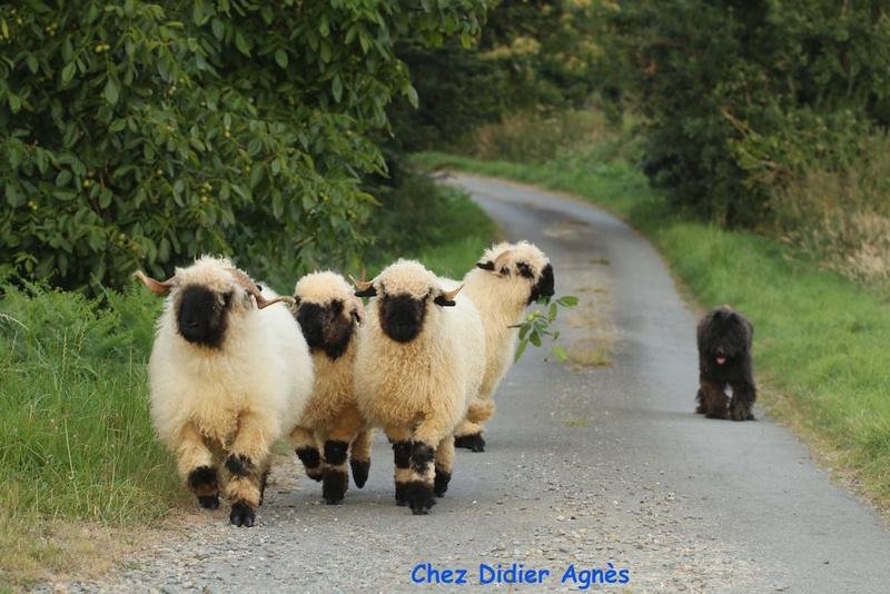 Le forum de tous les moutons d'agrément