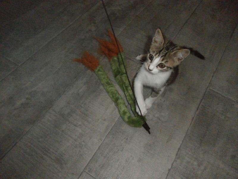 48 m o1 chaton typ europ en tigr et blanc c lin - A quel age couper les griffes d un chaton ...