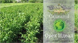 Купить Саженцы грецкого ореха идеал Украина, 0985674877, 0957351986, Walnuts Broker